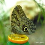 Fluturi tropicali - expozițtie de fluturi vii la muzeul Antipa