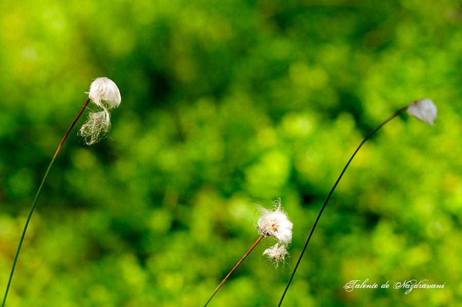 """Bumbăcărița - una din plantele """"pașnice"""" din Tinov"""