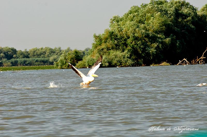 Delta Dunării pelican