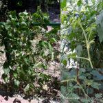 legume la bloc. ciclul de viată la plante