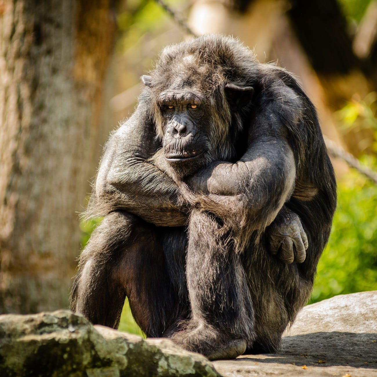 chimpanzee sitting on gray stone in closeup photography during daytime
